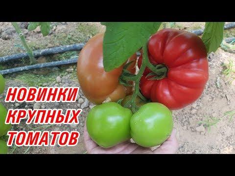 Новинки крупных томатов SVR 7216 F1, SVR 8184 F1, SVR 8480 F1 (27-05-2018)