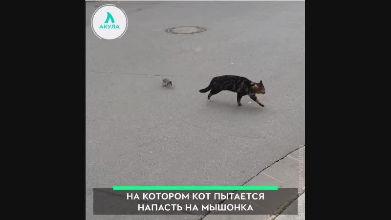 Мышь гоняется за котом | АКУЛА