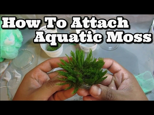How to attach Moss To Driftwood Easy Flame Weeping and Java