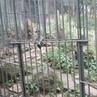 """Алексей Моргачев on Instagram """"тиграмур самый извесиный тигр в мире! Послушайте как он рычит Все животные как в дикой природе, несколько ра"""