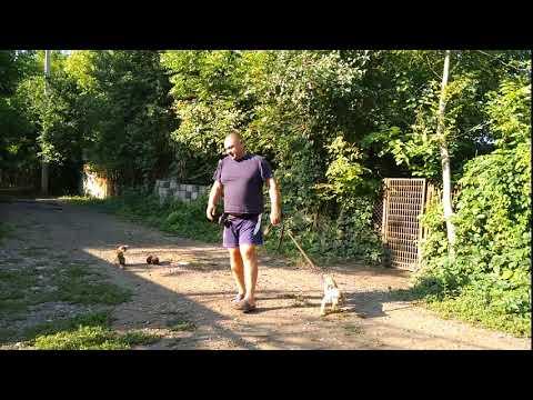 Кокер спаниель 3,5мес Рик дрессировка с котами!