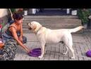 СУПЕР Умный Лабрадор Вуди выполняет Команды Super Labrador Woody Smart Labrador