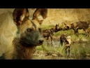 Painted Wolves How Pack Mentality Ensures their Survival BBC Earth