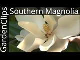 Evergreen Southern Magnolia - Magnolia Grandiflora - How to grow Bull Bay Magnolia