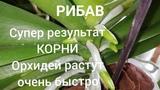 Орхидеи. Рибав самый лучший препарат для наращивания корней у Орхидей. Результат 100.