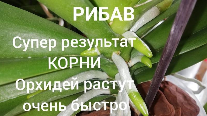 Орхидеи. Рибав самый лучший препарат для наращивания корней у Орхидей. Результат 100%.