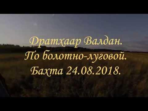 Дратхаар Валдан. Болотно-луговая. Бахта 2018.