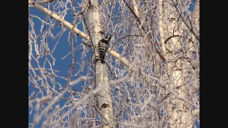 малый пестрый дятел в зимнем антураже