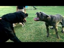 Rottweiler vs Cane Corso - Ultimate Clash