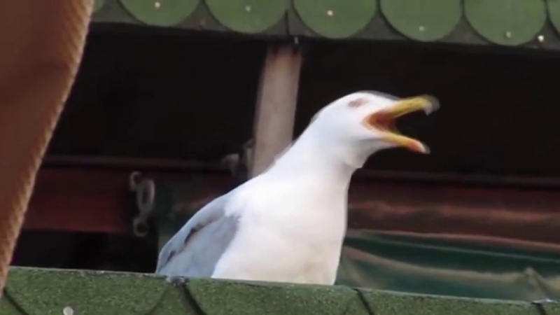 Disturbed Down with the Sea gull ness MEME