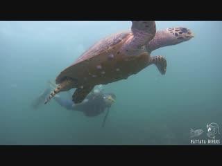 Turtle Point of Koh Krock Island   Diving Pattaya, Thailand