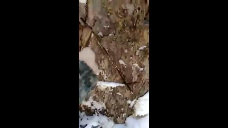 Два мужика в Приморье нашли дерево, в котором медведь впал в зимнюю спячку и зачем-то решили его заснять поближе, но незваные го
