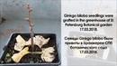 Успешная прививка Ginkgo Biloba в БИН РАН