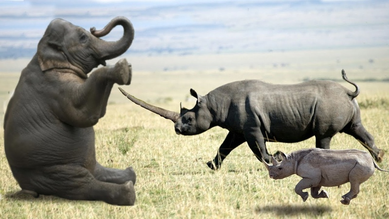 Elephant vs Rhino Real Fight Ephant Shows Who's Boss and the unexpected