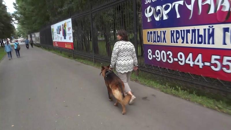 Собака телохранитель отработка навыка в городе