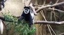 Пражский зоопарк Гверецы Колобусы