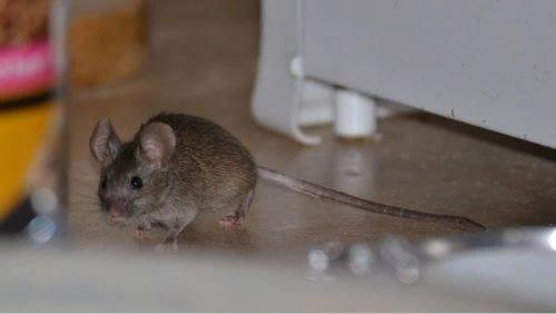 ПРИМЕТЫ СВЯЗАННЫЕ С ПОЯВЛЕНИЕМ МЫШЕЙ Народные приметы могут послужить хорошей подсказкой для любого человека. Если знать к чему в доме появляются мыши можно избежать многих проблем. Приметы