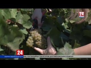 Сбор винограда на полуострове стартовал на две недели раньше. Как крымские виноделы отмечают профессиональный праздник