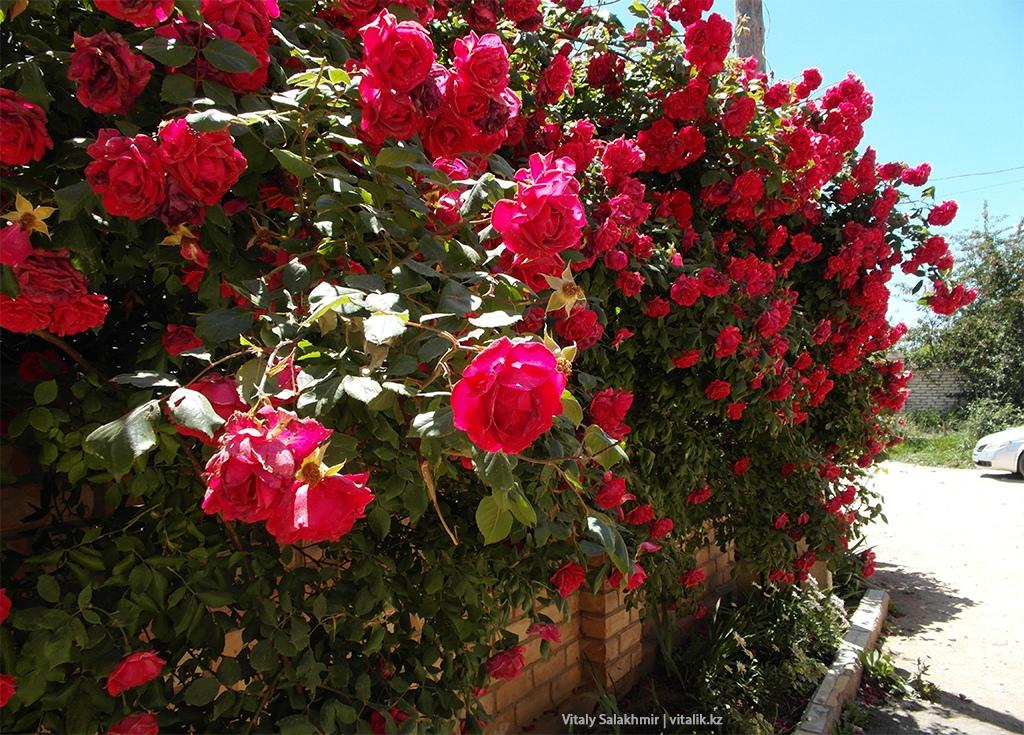 Забор с розами, Чолпон-Ата