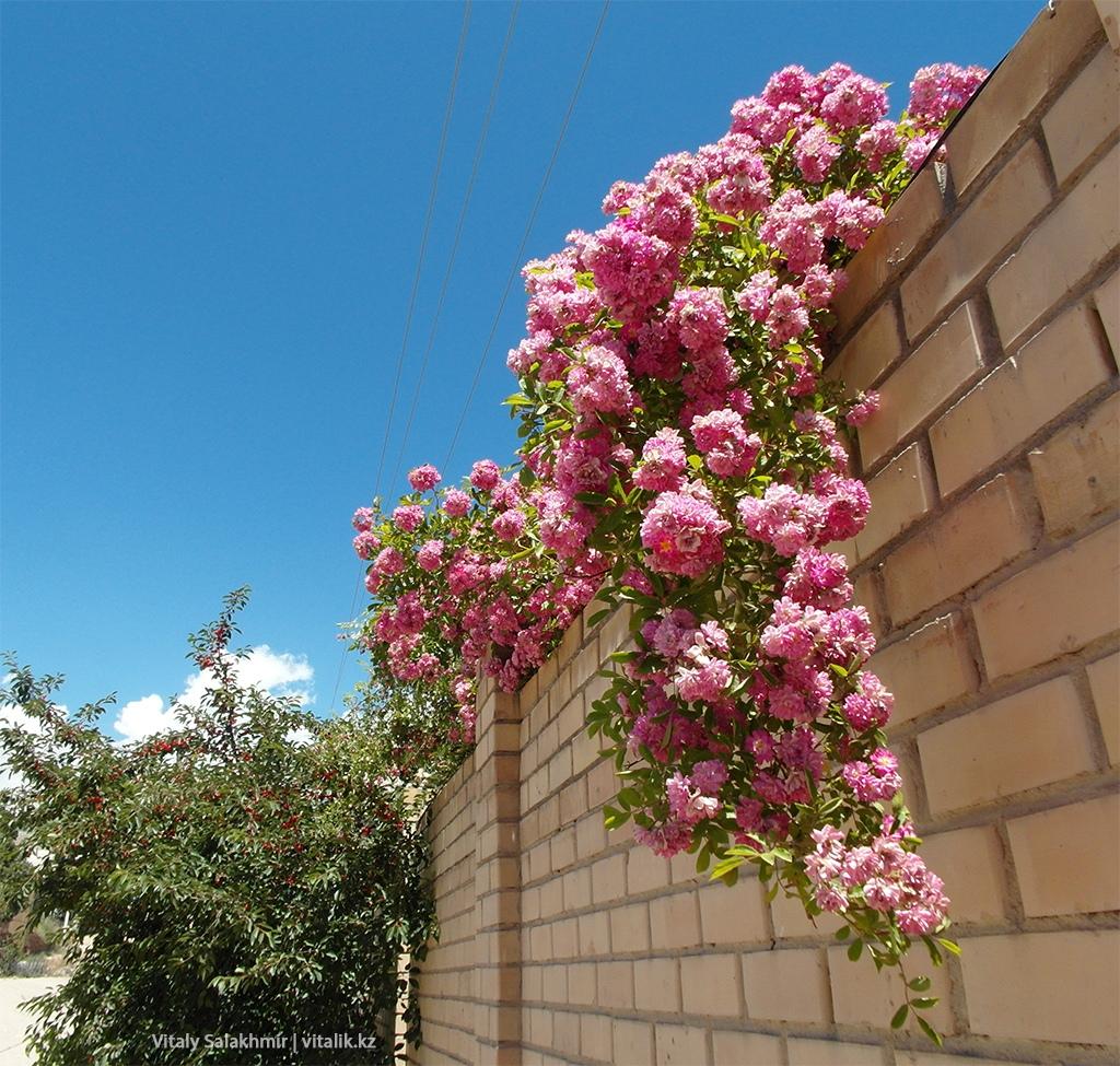 Розовые розы, Чолпон-Ата