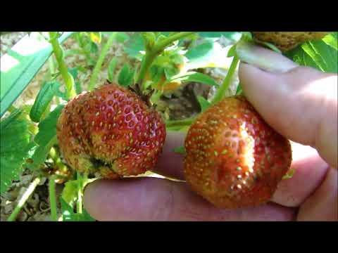 Собираю крупноплодную садовую землянику