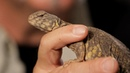 6 Facts about Spiny-Tailed Lizards   Pet Reptiles