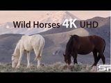 Wild Mustang Horses stock footage of the American West, 4K Ultra HD