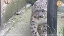 Барс кормящая тигрица и зов джунглей это парк Тайган Snow leopard tigress and call jungle