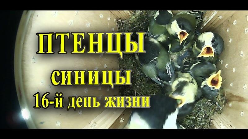 Птенцы синицы в скворечнике 16-й день жизни / Таймлапс наблюдение за птицами