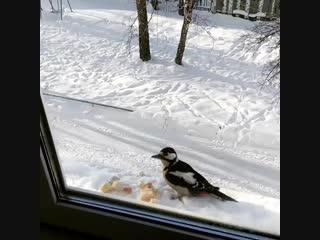 Дятел залетел на обед