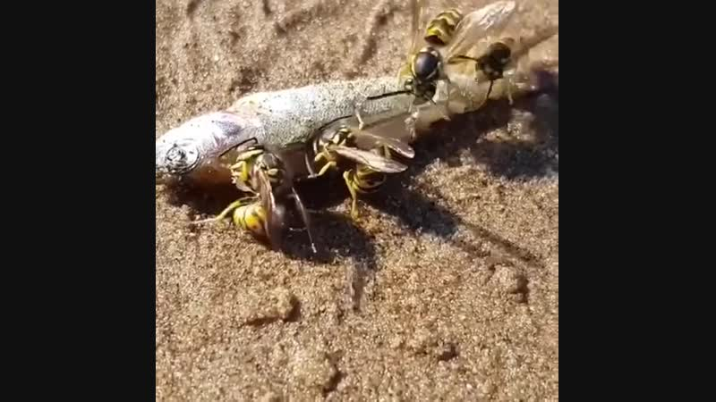 Hornets will eat absolutely anything! As both scavengers and hunters, they can collect protein from all sorts of creatures.