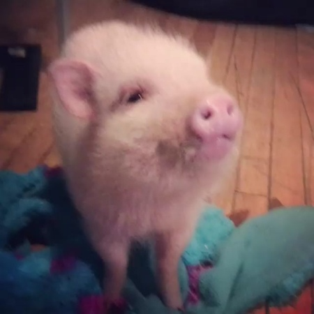 "Daily Picture of Pig on Instagram: ""Day 84 - HAPPY NEW YEAR 😊😊🎉🐖 new year and many more pigs. This pig is @puatheminipig and is quite popular in th..."