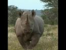 Чёрный носорог шугает туристов 🦏