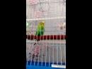 У нас новичок Волнистый попугайчик Кеша 08 08 18 г