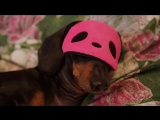 This is MY bed, silly human! Funny dachshund dog video! Try not to laugh
