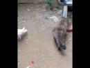 игривая белая голубка заигрывает с кошкой