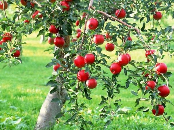 Как ухаживать за яблоней