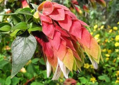 Белопероне Обычные цветоводы-любители зовут его комнатным хмелем, а еще раковыми шейками. У профессионалов же название этого растения белопероне или юстиция. Цветет оно все 360 дней в году, в