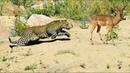 Epic ambush Amazing Leopard stalks and ambush animals Unbelievable