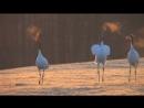 【北海道の絶景】タンチョウ 赤い吐息 美しき光景 Танец японских журавлей