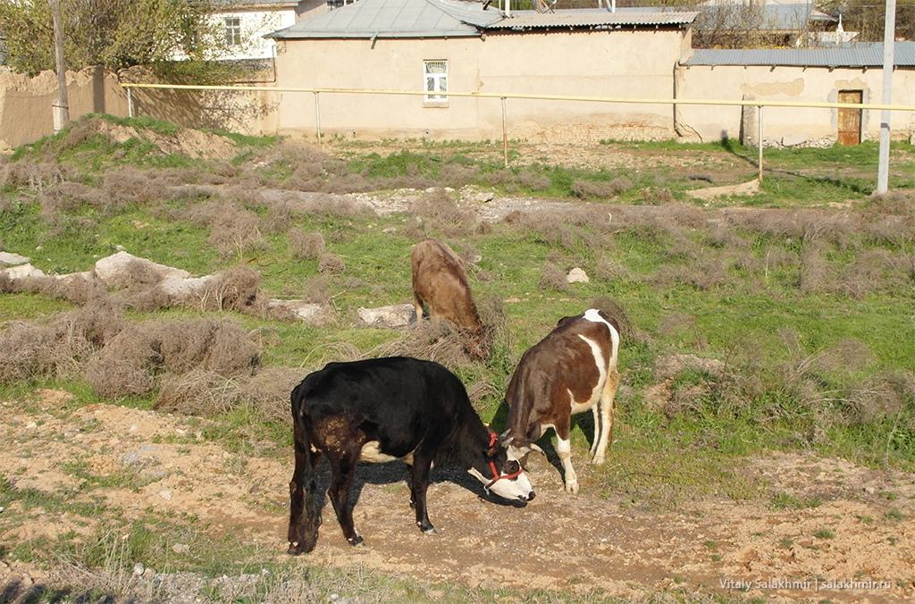 Коровы в Черняевке, дорога до Алматы 2019