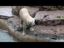Toronto Zoo Polar Bear Juno Taking A Splash in Her Pool!