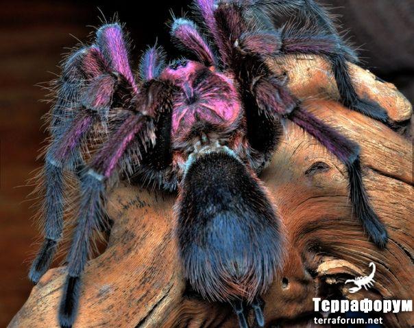 Phormictopus cancerides