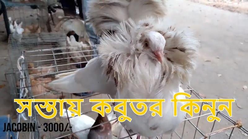 Kobutor hat || ফরিদপুর কবুতর হাট || Cheapest pigeon market in bd