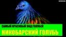 Никобарский голубь самый красивый вид голубей