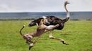 ГЕПАРД В ДЕЛЕ Гепард против гиены страуса антилоп кабанов