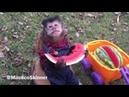 Macaco Skinner comendo melancia