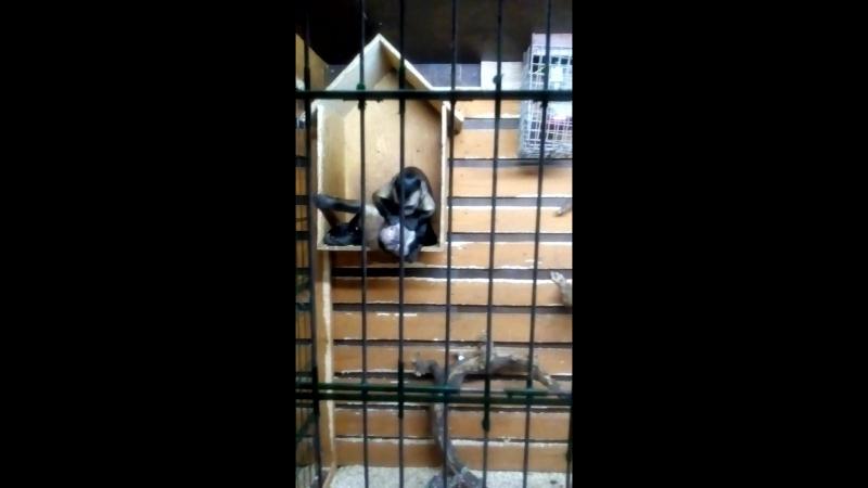 обезьянки капуцины Лора и Адам Они такие смешные
