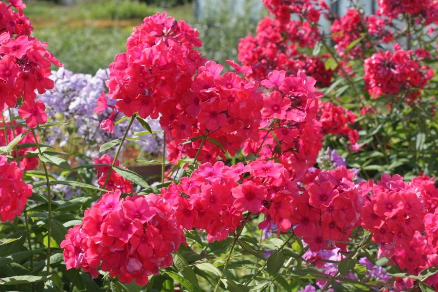 Многолетники для цветников - Сирень