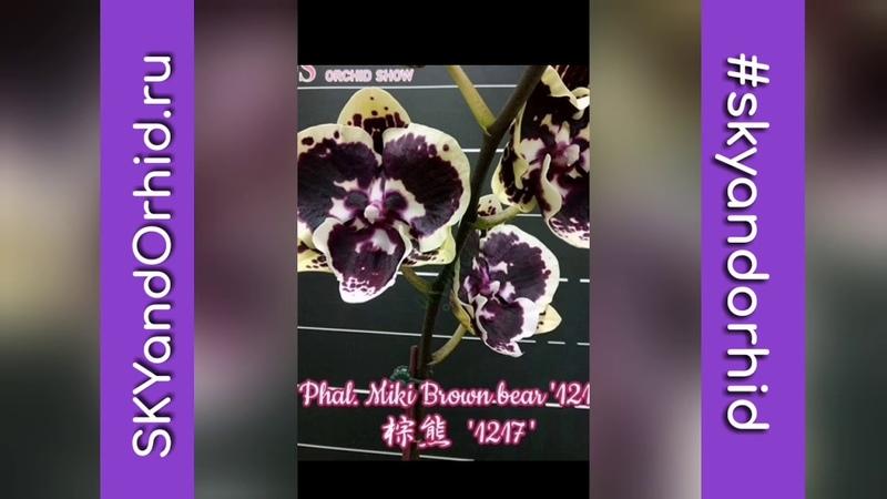 Phal. Miki Brown bear '1217'